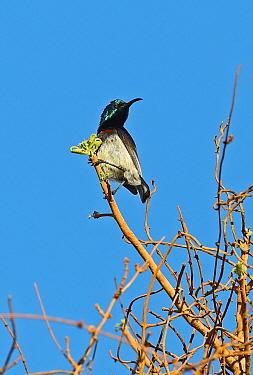 Souimanga Sunbird (Cinnyris sovimanga) adult male perched on twig, Madagascan Endemic  La Tabla, Tulear, Madagascar      November