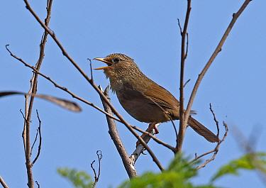 Taiwan Hwamei (Garrulax taewanus) adult perched on branch singing  Kenting Peninsula, Taiwan        April