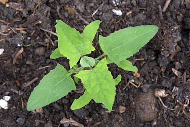 Common orache, Atriplex patula, young plant with true leaves germinating and greowing in waste ground, May