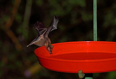 Geoffroy's Tailless Bat (Anoura geoffroyi) adult feeding from hummingbird feeder  Tapichalaca, Ecuador     February