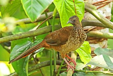 Speckled Chachalaca (Ortalis guttata guttata) adult perched on branch  Copalinga Lodge, Zamora, Ecuador           February