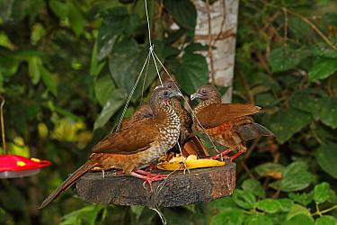 Speckled Chachalaca (Ortalis guttata guttata) adults feeding at feeding station  Copalinga Lodge, Zamora, Ecuador           February