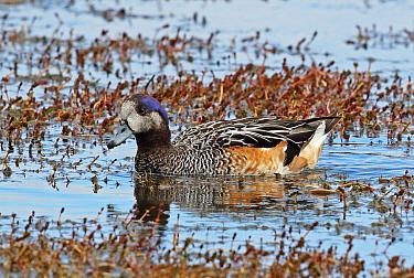 Chiloe Wigeon (Mareca sibilatrix) adult on weedy pond  Punta Arenas, Chile              January