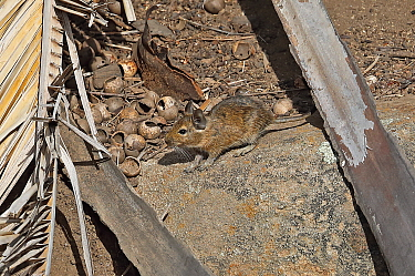 Common Degu (Octodon degus) adult on forest floor with nut shells  La Campana National Park, Chile                  January
