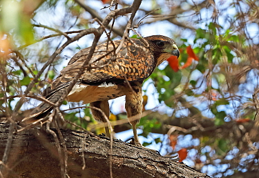 Harris's Hawk (Parabuteo unicinctus unicinctus) immature perched in tree  La Campana National Park, Chile          January