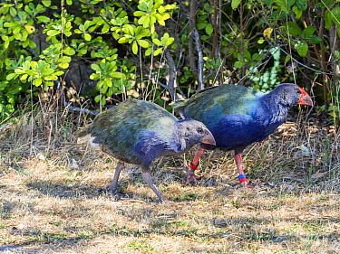 Takahe or Notornis is a flightless bird indigenous to New Zealand, Adult and young on Tiritiri Matangi Island.