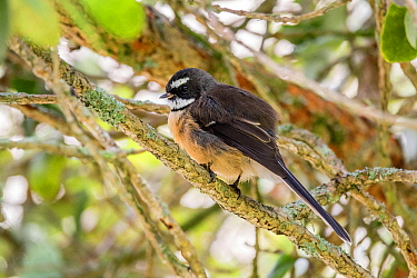 Fantail (Rhipidura fuliginosa) New Zealand, North Island Pied Race