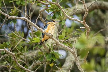 New Zealand Kingfisher or Sacred or Kotare Kingfisher