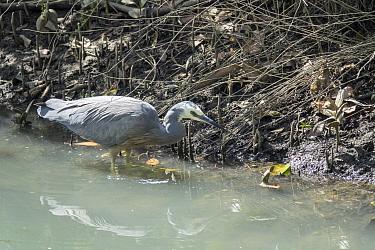 white-faced heron (Egretta novaehollandiae) also known as the white-fronted heron, New Zealand.