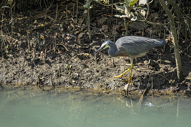 white-faced heron (Egretta novaehollandiae) also known as the white-fronted heron, catching a crab. New Zealand.