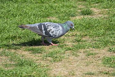 Rock or Feral Pigeon (Columba livia) New Zealand.