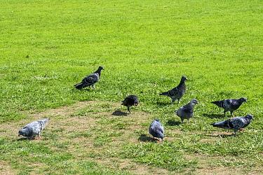 Rock or Feral Pigeons (Columba livia) New Zealand.