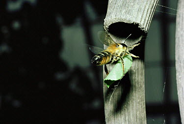 Leaf cutter bee carrying piece of leat to nest in garden hosepipe (Megachile versicolor) England  -  Premaphotos/ npl