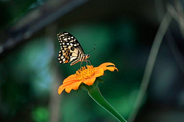 Butterfly (Papilio demoleus) on flower, Thailand  -  Bengt Lundberg/ npl