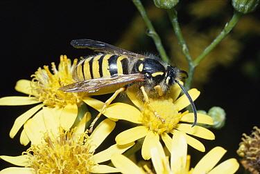 Tree wasp (Vespula sylvestris) on Ragwort (Senecio sp) UK  -  Premaphotos/ npl
