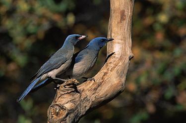 Mexican Jay (Aphelocoma ultramarina) pair Arizona  -  Mary Mcdonald/ npl