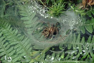 Labyrinth Spider (Agelena labyrinthica)Funnelweb spiders mating in web, United Kingdom  -  Premaphotos/ npl