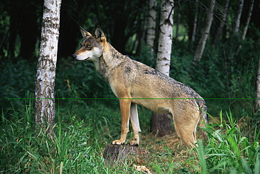 Grey Wolf (Canis lupus) male in Mazurski Park Poland  -  Artur Tabor/ npl