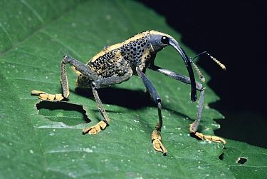 Weevil portrait male (Rhinastus latesternus) Peru, South America  -  Premaphotos/ npl