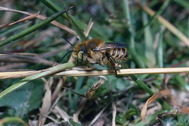 Silver leafcutter bee male on sand dune grass UK (Megachile leachella)  -  Premaphotos/ npl