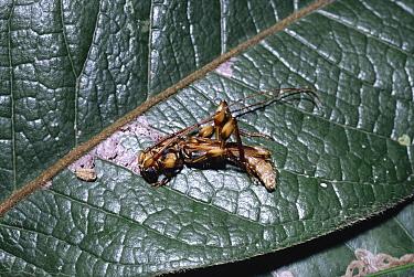 Longhorn beetle (Ozodes sp) mimics bird dropping on leaf in rainforest Brazil  -  Premaphotos/ npl