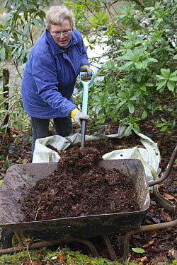 Woman forking well-rotted leaf mold from a big bag into a wheel barrow, UK  -  Dave Bevan/ npl