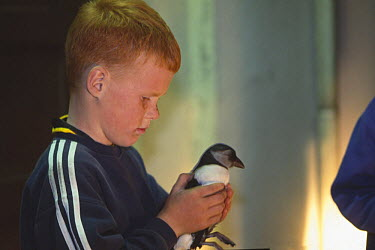 Atlantic Puffin (Fratercula arctica) young that has been distracted by the lights of the town and landed on the streets of Heimaey, being picked up and rescued by a child, Vestmann Island, Iceland  -  Inaki Relanzon/ npl