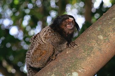 Black tufted-ear, pencilled marmoset, Minas Cerais, Brazil (Callithrix pencillata)  -  Luiz Claudio Marigo/ npl
