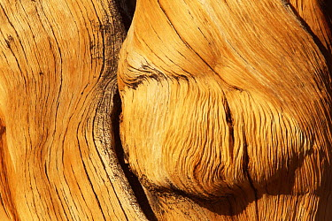 Rocky Mountains Bristlecone Pine (Pinus aristata) detail of tree trunk, White Mountain, California  -  David Welling/ npl