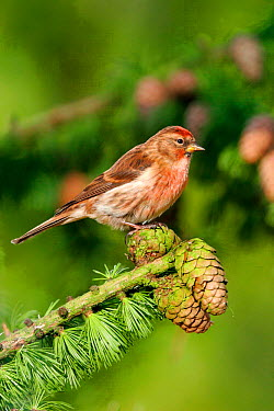 Common Redpoll (Carduelis flammea) male on green Larch, southern Yorkshire, United Kingdom  -  Paul Hobson/ npl