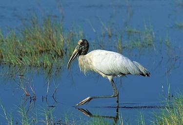 Wood Stork (Mycteria americana) walking in shallow water, Florida  -  Hanne & Jens Eriksen/ npl