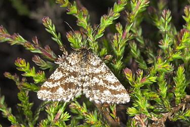 Common heath moth (Ematurga atomaria) at rest on heather, Exmoor Somerset, UK  -  Gary K. Smith/ npl