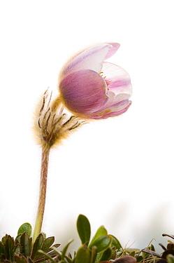 Spring Pasque Flower (Pulsatilla vernalis) in bloom,, Tr�ndelag, Norway  -  Niall Benvie/ npl