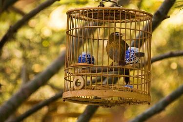 Laughing thrush, Hwamei (Garrulax canorus) in birdcage Beijing Forbidden City, China Nov 06 'Wild China' series  -  Gavin Maxwell/ npl