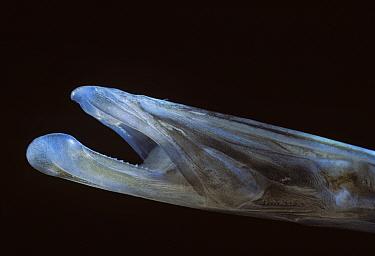 Bluespotted Cornetfish (Fistularia commersonii) close-up of mouth Egypt, Red Sea  -  Jeff Rotman/ npl