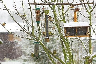 European Goldfinch (Carduelis carduelis), European Greenfinch (Carduelis chloris) and Siskin (Carduelis spinus) flock feeding on feed from bird feeders in the snow, Norfolk, United Kingdom  -  Gary K. Smith/ npl