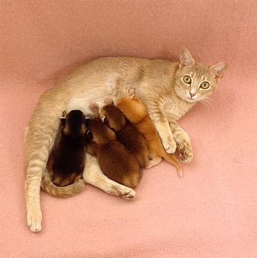 Domestic Cat (Felis catus), kittens kneading their mother as they feed  -  Jane Burton/ npl