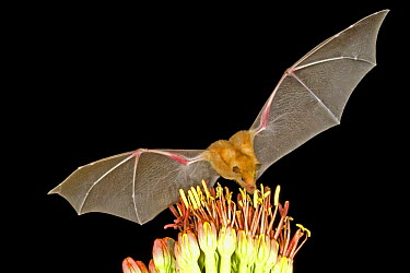 Southern Long-nosed Bat (Leptonycteris curasoae) feeding on nectar, Chiricahua Mts, Arizona  -  Barry Mansell/ npl