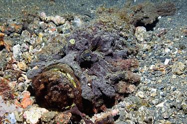 Esturine Stonefish (Synanceia horrida) lying on seabed, Lembeh Strait, North Sulawesi, Indonesia  -  Georgette Douwma/ npl