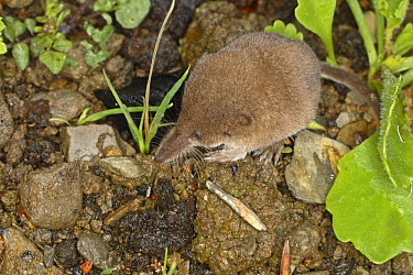 Pygmy Shrew (Sorex minutus) hunting for insects on ground, United Kingdom  -  Dave Bevan/ npl