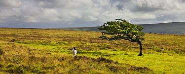 Windswept tree and wild sheep on moorland in Exmoor National Park, Somerset, England  -  Adam Burton/ npl