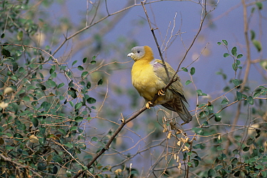 Yellow legged green pigeon (Treron phoenicoptera) Sariska NP, India  -  Laurent Geslin/ npl
