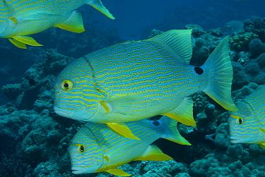 School of Sailfin snapper (Symphorichthys spilurus), Rowley Shoals, Western Australia  -  Jurgen Freund/ npl