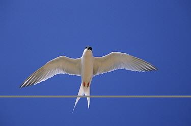Roseate Tern (Sterna dougallii) in flight, Norfolk, United Kingdom  -  Gary K. Smith/ npl