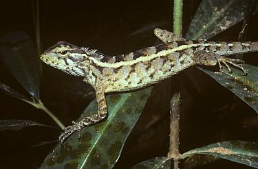 Changeable Lizard (Calotes versicolor) female on vegetation in tropical dry forest, Sri Lanka  -  Premaphotos/ npl