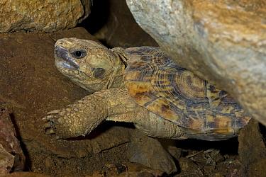 African Pancake Tortoise (Malacochersus tornieri) captive, East Africa Vulnerable  -  Rod Williams/ npl