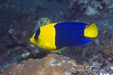 Blue And Gold Angelfish (Centropyge bicolor) Bunaken National Park, North Sulawesi, Indonesia  -  Georgette Douwma/ npl