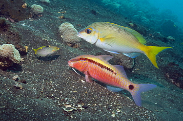Dash-and-dot goatfish (Parupeneus barberinus) grubbing in sand, closely watched by a Spinecheek (Scolopsis sp, an undescribed species) hoping to catch escaping prey Bali, Indonesia  -  Georgette Douwma/ npl