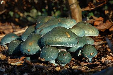 Verdigris agaric (Stropharia aeruginosa) Somerset, UK  -  Nigel Bean/ npl