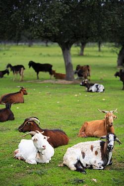 Domestic Goat (Capra hircus) resting in Olive grove, Spain  -  Jose B. Ruiz/ npl